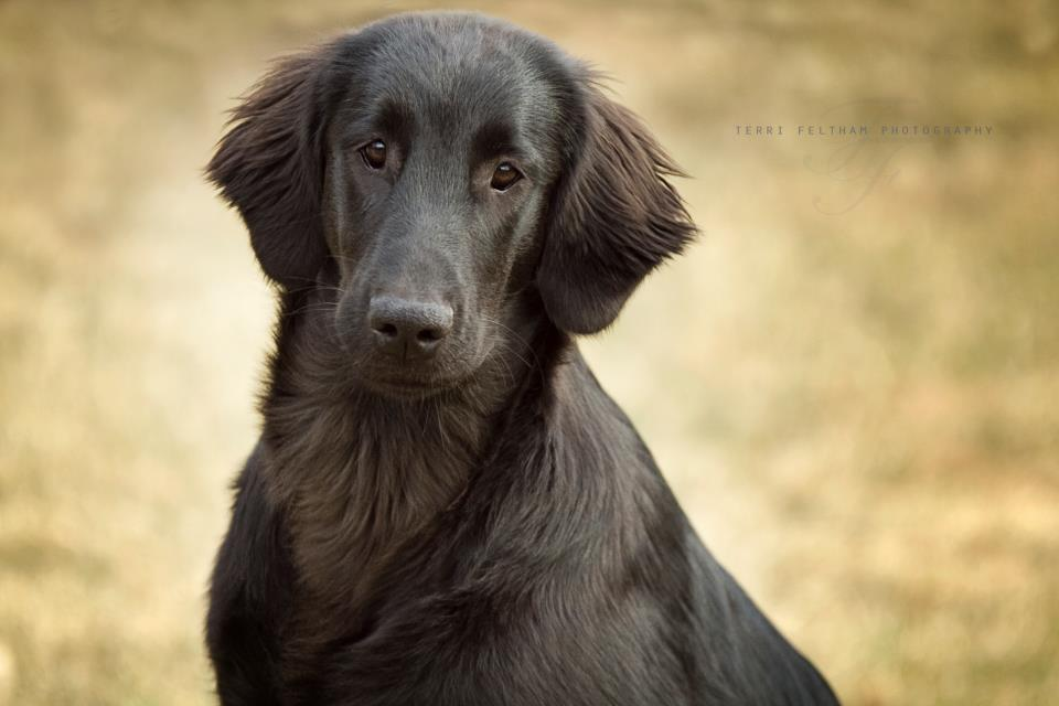 Flat Coated Retriever - Lucy - Inglis Kennels